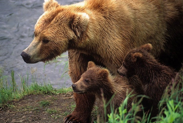 This Mama Bear Was Forced To Leave Her Cubs To Drown
